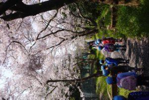 H29-04-14_平成29年4月14日 お花見遠足 1