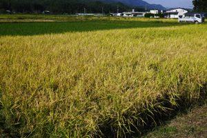 平成30年10月2日 稲刈り 1
