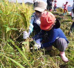令和元年 10月 1日 稲刈り 2